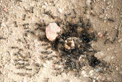 Black ants in desert near an anthill . Ant ground entrance