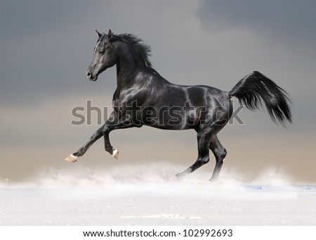 black arab horse in the snow - stock photo
