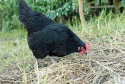 Black australorp chicken scratching in dry grass