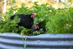 Black Australorp chickens sitting in lush vegetable garden surrounded by carrot leaves