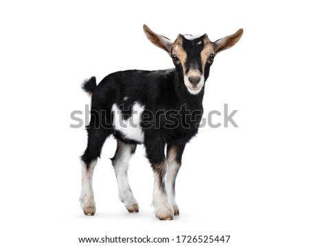 Black baby goat with white and brown spots, standing side ways with head turned to camera. Looking towards camera showing both eyes and ears up. Isolated on white background. Foto stock ©