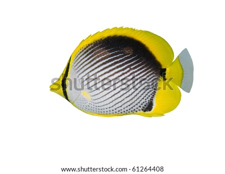 Black backed butterfly fish isolated on white