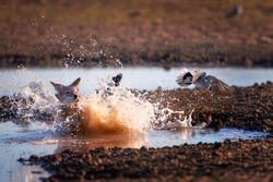 Black Backed Jackal, Canis Mesomelas, african fox-like canid hunting doves. Animal action scene, hunting behavior. Jumping jackal, trying to catch bird. African wildlife photo, Kgalagadi, Botswana.