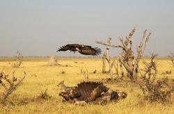 Black-backed Jackal (Canis mesomelas) and Hooded Vulture (Necrosyrtes monachus), at the carcass of a Cape Buffalo (Syncerus caffer caffer), Savuti, Chobe National Park, Botswana