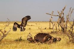 Black-backed Jackal (Canis mesomelas) and Hooded Vulture (Necrosyrtes monachus) at the carcass of a Cape Buffalo (Syncerus caffer caffer), Savuti, Chobe National Park, Botswana