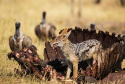 Black-backed Jackal (Canis mesomelas), at the carcass of a Cape Buffalo (Syncerus caffer caffer), in the background some White-backed Vultures (Gyps africanus), Savuti, Chobe National Park, Botswana