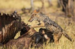 Black-backed Jackal (Canis mesomelas) at the carcass of a Cape Buffalo (Syncerus caffer caffer), Savuti, Chobe National Park, Bots