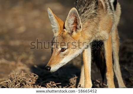 Black-backed Jackal (Canis mesomelas), Kalahari desert, South Africa