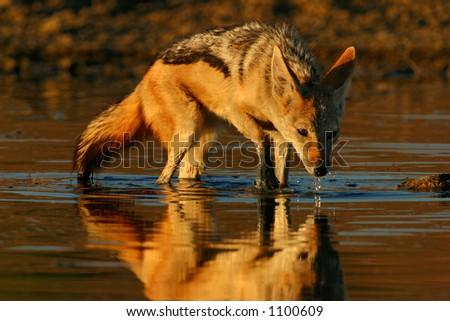 Black-backed Jackal (Canis mesomelas)  wading in shallow water, Kalahari, South Africa