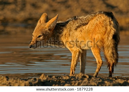 Black-backed Jackal (Canis mesomelas)  wading in shallow water, Kalahari, South Africa - stock photo