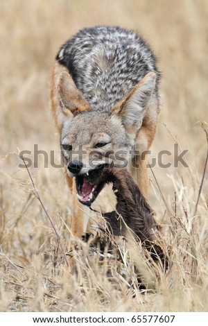 Black-backed jackal eating carcass, Serengeti National Park, Tanzania, East Africa