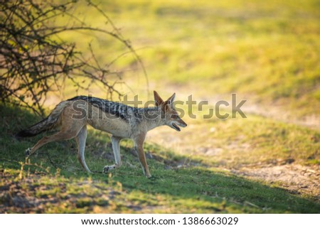 Black-backed jackal looking up to us, Image #1386663029