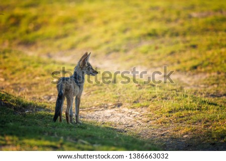 Black-backed jackal looking up to us, Image #1386663032