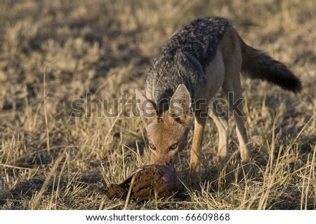 Black Backed Jackal Scavenges on a Kill
