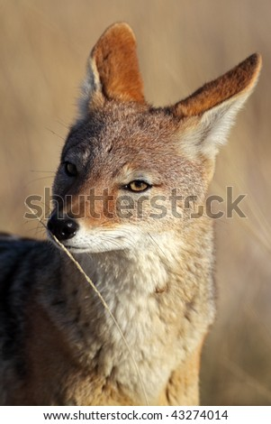 Black-backed jackal smelling a straw scented with feromones, Etosha NP, Namibia, southern Africa