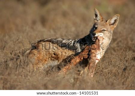 Black-backed jackal with a leg bone from a buffalo