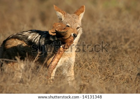 Black-backed jackal with a leg bone from a buffalo