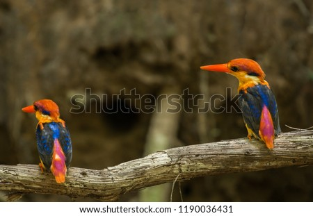 Black-backed kingfisher (Ceyx erithaca) Kaeng Krachan National Park, thailand