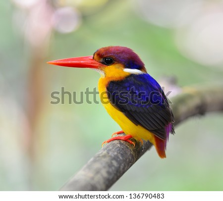 Black-backed Kingfisher, Ceyx erithacus, a little cute and tiny colorful kingfisher, bird of Thailand
