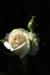 black background with single white rose covered in dew drops