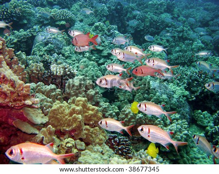 Black Bar Soldier Fish on a reef in Kona Hawaii swimming in one direction