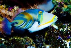 Black-bar Trigger Fish in Aquarium