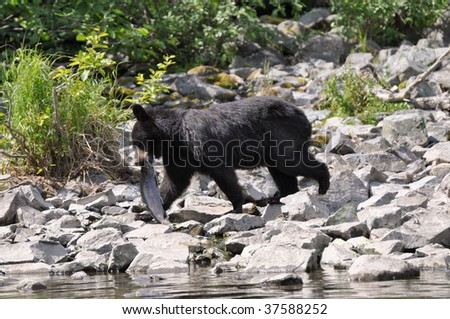 black bear carries salmon