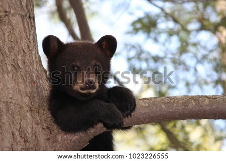 Black bear cub sitting on a branch of a tree looking at camera