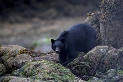Black Bear foraging on the beach