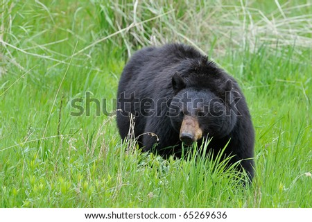Black Bear Grazing in Yellowstone National Park
