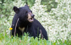 Black bear in the Rocky Mountains