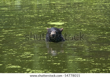 Black bear is swimming in a pond - stock photo