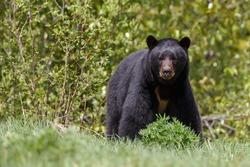 Black bear looks angry