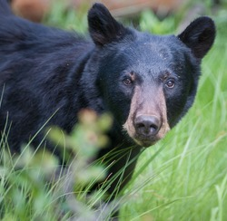Black bear portrait.