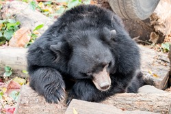 Black bear sleeping on the log