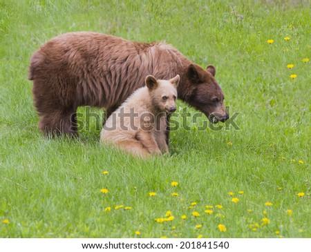 Black bear sow and its cinnamon colored cub enjoy a picnic, Waterton lakes National Park, Alberta, Canada #201841540
