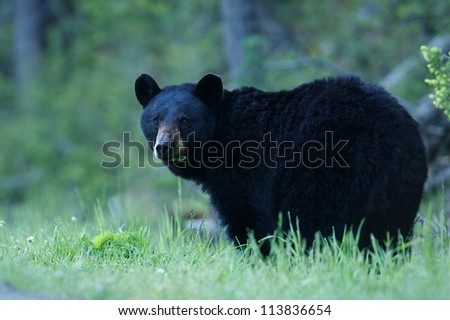 Black Bear sow in lush green grass near Tower Falls, Yellowstone National Park, Montana / Wyoming