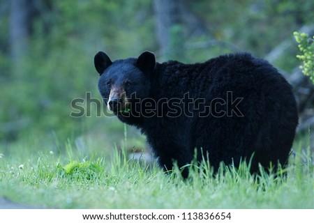 Black Bear sow in lush green grass near Tower Falls, Yellowstone National Park, Montana / Wyoming