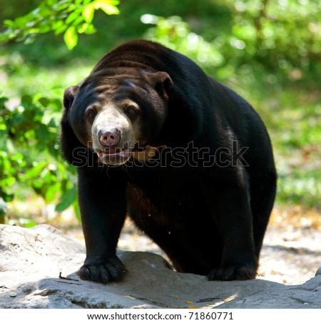 Black Bear Standing - stock photo