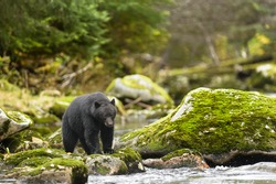 Black Bear (Ursus americans) - Under a Watchful Eye