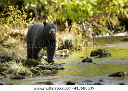 Black Bear (Ursus americans) - Water\'s Edge Anticipation