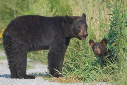 Black bear (Ursus americanus) mother standing in the road with young cub peeking out from the bushes. Alligator River National Wildlife Refuge, North Carolina, USA.