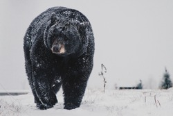 Black Bear Walking in Snow