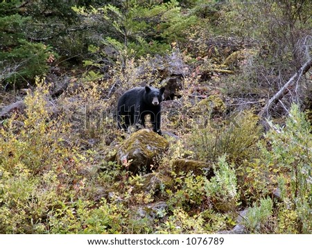 Black bear walking in the woods in southern Oregon near Gold Beach