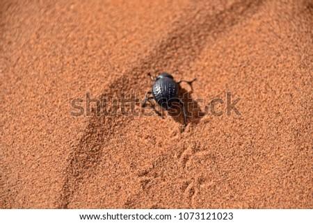 Black beattle walking on desert sand