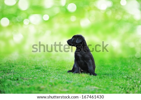 black beauty puppy on the grass in park