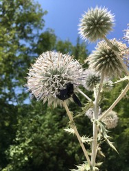 Black Bee, Beetle which had Landed on a Thorn in Summer