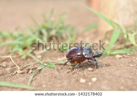 black beetle crawling on soil and grass,Beetles in nature. #1432178402