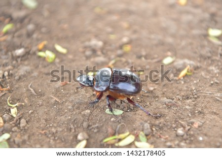 black beetle crawling on soil and grass,Beetles in nature. #1432178405