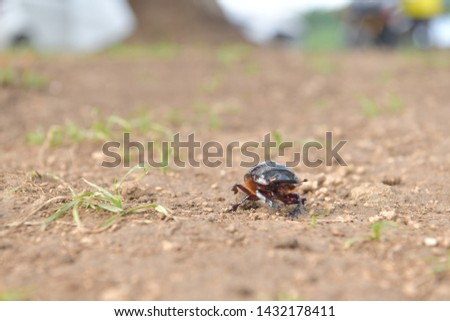 black beetle crawling on soil and grass,Beetles in nature. #1432178411